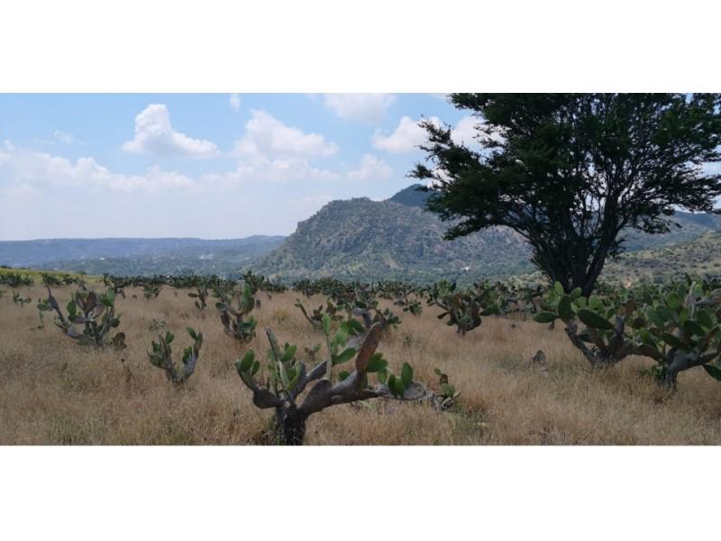 terreno esta actualmente sembrado  de nopales se encuentra en  san  esteban cerca de zapopan.   4